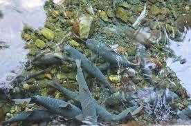 """Berenang Cibulan """"Ikan Dewa"""" Bersama"""