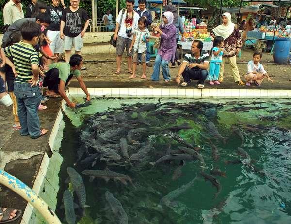 Cibulan Ikan Dewa